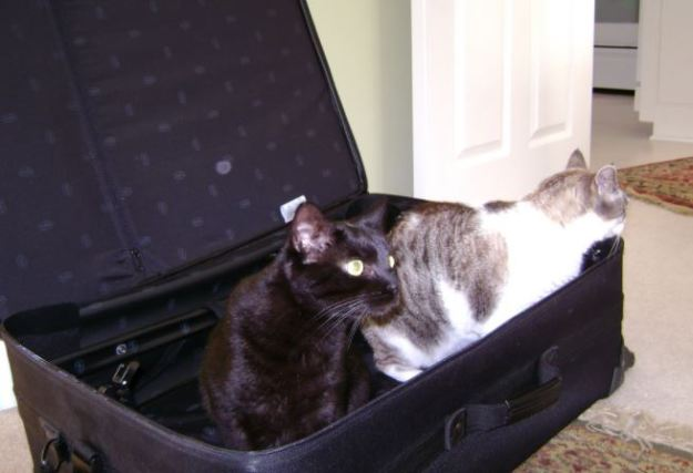 cats in suitcase