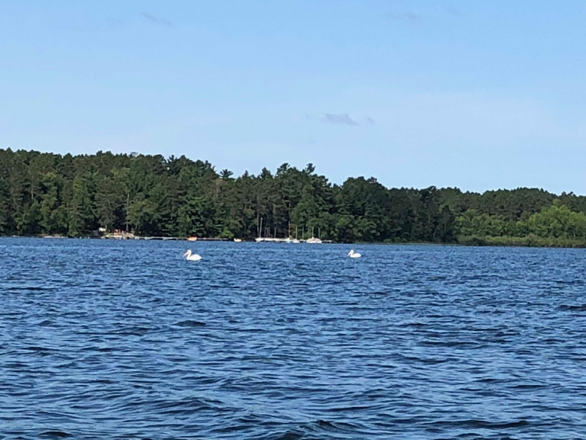 pelicans on big wolf lake