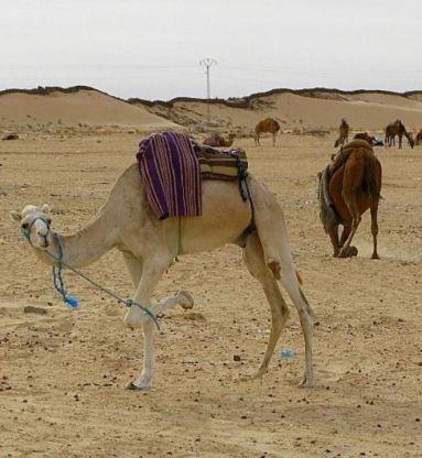 tie your camel