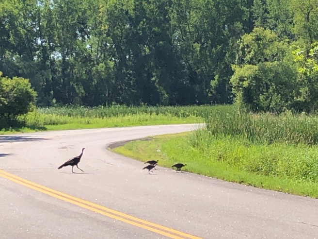 Turkeys crossing